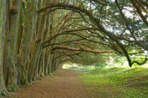 Yew Walk